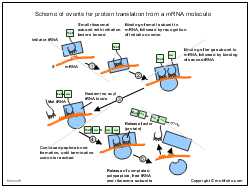 Scheme of events for protein translation from a mRNA molecule