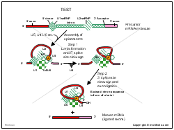Mechanism of RNA splicing to form mature mRNA molecules