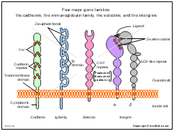 Four major gene families the cadherins the immunoglobulin family the selectins and the intergrins