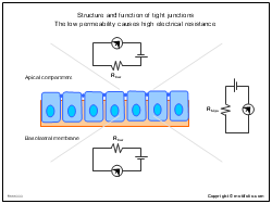 Structure and function of tight junctions The low permeability causes high electrical resistance