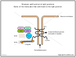 Structure and function of tight junctions Some of the molecules that contribute to the tight junction
