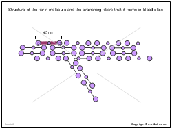 Structure of the fibrin molecule and the branching fibers that it forms in blood clots