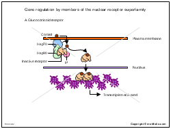 Gene regulation by members of the nuclear receptor superfamily