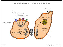Nitric oxide NO-mediated endothelial cell relaxation