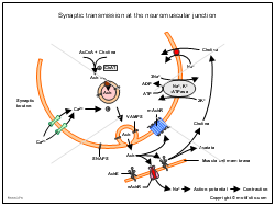 Synaptic transmission at the neuromuscular junction