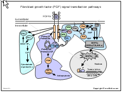 Fibroblast growth factor FGF signal transduction pathways