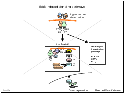 ErbB-induced signaling pathways