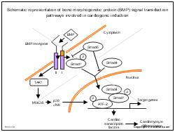 Schematic representation of bone morphogenetic protein BMP signal transduction pathways