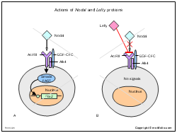 Actions of Nodal and Lefty proteins