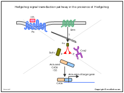 Hedgehog signal transduction pathway in the presence of Hedgehog