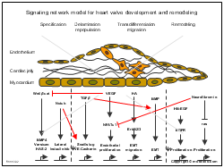 Signaling network model for heart valve development and remodeling