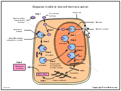 Stepwise model of steroid hormone action