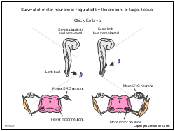Survival of motor neurons is regulated by the amount of target tissue