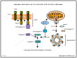 Caspase activation by the extrinsic and intrinsic pathways