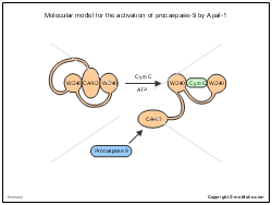 Molecular model for the activation of procaspase-9 by Apaf-1