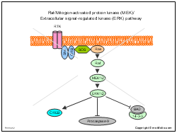 Raf-Mitogen-activated protein kinase MEK Extracellular signal-regulated kinase ERK pathway