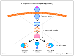 A simple intracellular signaling pathway