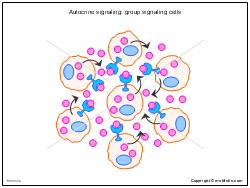 Autocrine signaling - group signaling cells