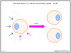 Cell dependence on multiple extracellular signals - Divide