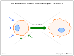 Cell dependence on multiple extracellular signals - Differentiate