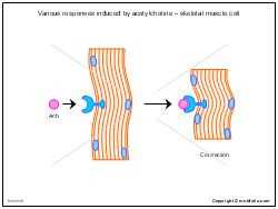 Various responses induced by acetylcholine - skeletal muscle cell