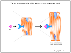 Various responses induced by acetylcholine - heart muscle cell