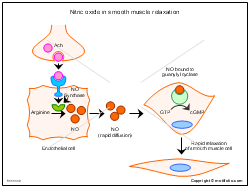 Nitric oxide in smooth muscle relaxation