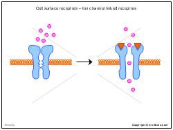 Cell surface receptors - Ion channel linked receptors
