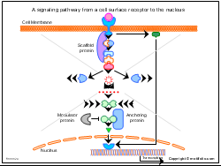 A signaling pathway from a cell surface receptor to the nucleus