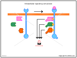 Intracellular signaling complexes