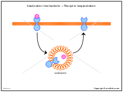 Inactivation mechanisms - Receptor sequestration
