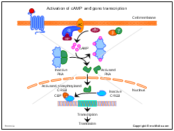 Activation of cAMP and gene transcription