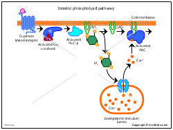Inositol phospholipid pathway