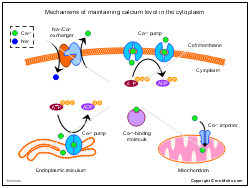 Mechanisms of maintaining calcium level in the cytoplasm