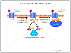 Role of G-protein-linked receptor kinase