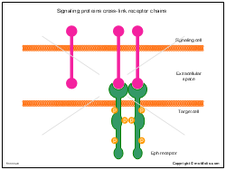 Signaling proteins cross-link receptor chains