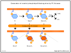 Generation of inositol phospholipid docking sites by PI 3-kinase