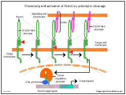 Processing and activation of Notch by proteolytic cleavage