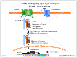 A model for Hedgehog signaling in Drosophila Without Hedgehog signal