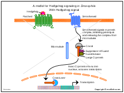 A model for Hedgehog signaling in Drosophila With Hedgehog signal