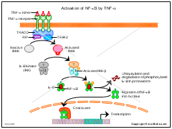 Activation of NF-kappaB by TNF-alpha