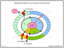 Mechanical model for the cell cycle control system