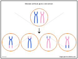 Meiosis without gene conversion