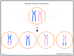 Meiosis with gene conversion