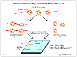 Nuclease protection analysis of chromatin from human nuclei