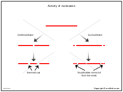 Activity of nucleases