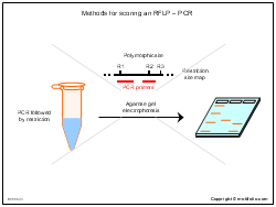 Methods for scoring an RFLP-PCR