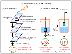 Gel stretching and molecular combing