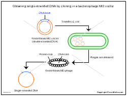 Obtaining single-stranded DNA by cloning in a bacteriophage MI3 vector