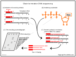 Chain termination DNA sequencing